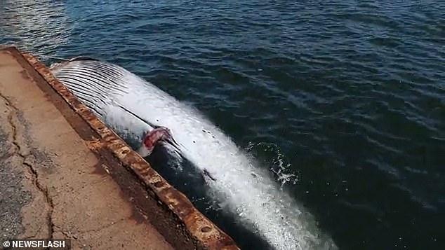 Sốc cảnh cá voi quý hiếm dài 10 mét kẹt cứng ở mũi tàu chở dầu Nhật Bản - ảnh 3