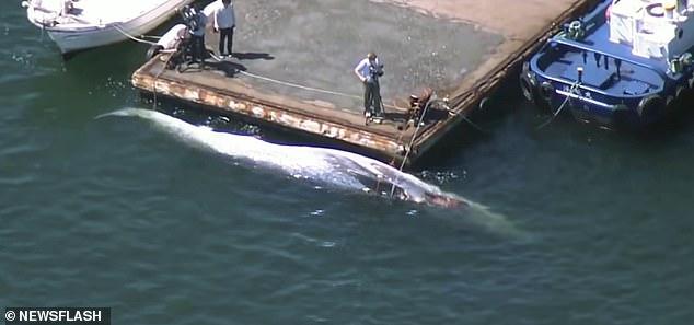 Sốc cảnh cá voi quý hiếm dài 10 mét kẹt cứng ở mũi tàu chở dầu Nhật Bản - ảnh 2