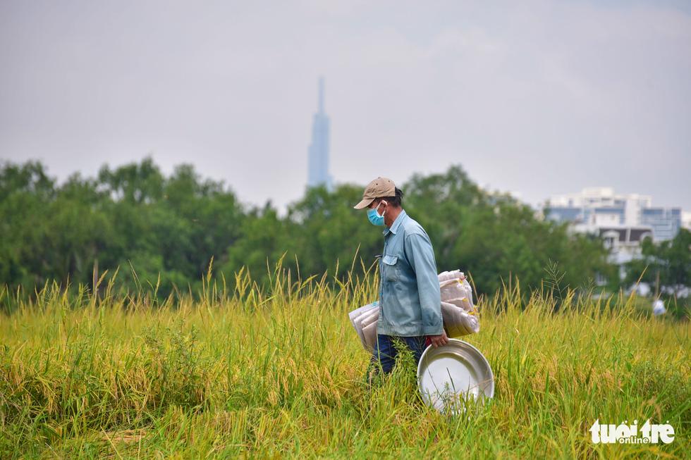 Gặt lúa, bắt cá mưu sinh giữa TP.HCM trong mùa dịch - ảnh 2