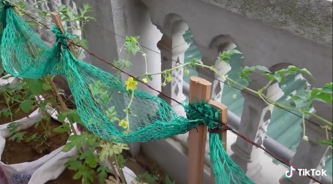 Người đàn ông dạy cách trồng cả một vườn dưa ngay tại ban công sai quả đến mức mắc võng cho dưa nằm xếp cả hàng dài - ảnh 3