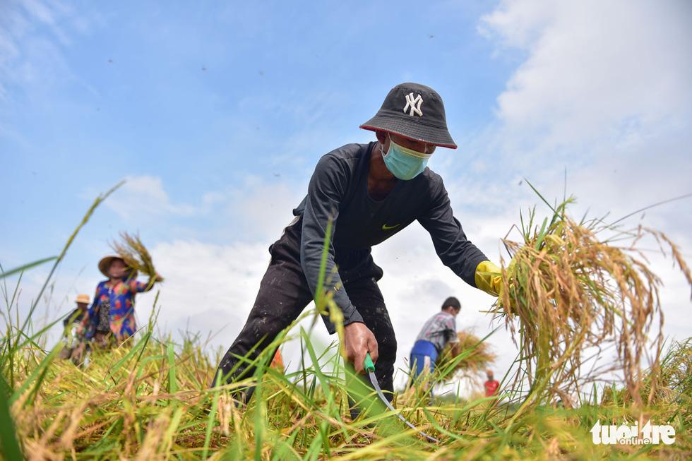Gặt lúa, bắt cá mưu sinh giữa TP.HCM trong mùa dịch - ảnh 1
