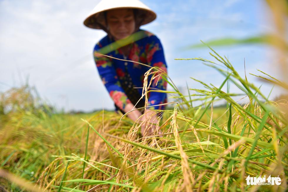 Gặt lúa, bắt cá mưu sinh giữa TP.HCM trong mùa dịch - ảnh 3