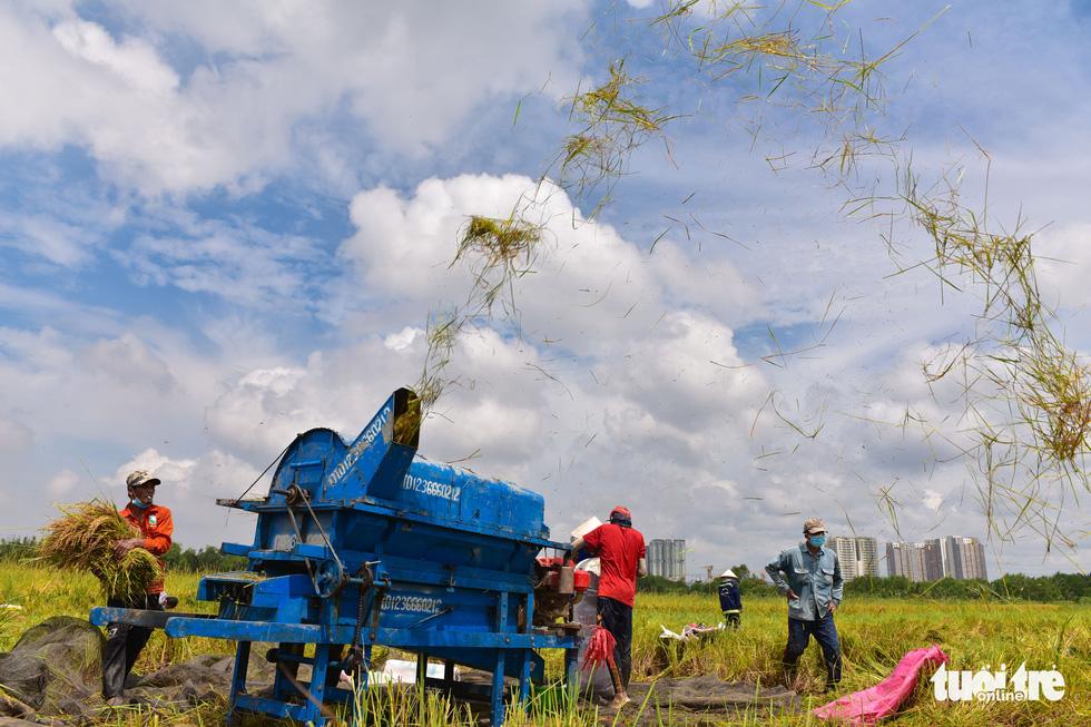 Gặt lúa, bắt cá mưu sinh giữa TP.HCM trong mùa dịch - ảnh 7