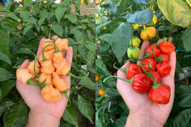Chàng trai gốc Việt làm vườn 300m2, trồng ớt và hoa hồng ở Mỹ - ảnh 2