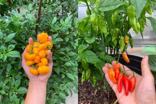 Chàng trai gốc Việt làm vườn 300m2, trồng ớt và hoa hồng ở Mỹ - ảnh 7