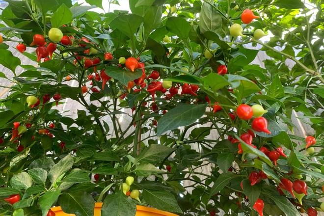 Chàng trai gốc Việt làm vườn 300m2, trồng ớt và hoa hồng ở Mỹ - ảnh 5