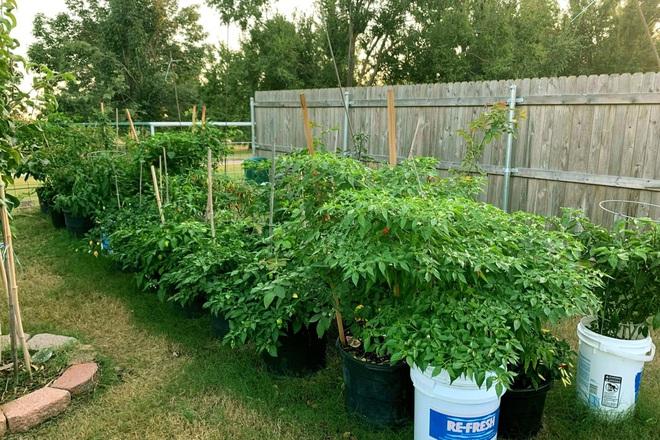 Chàng trai gốc Việt làm vườn 300m2, trồng ớt và hoa hồng ở Mỹ - ảnh 6