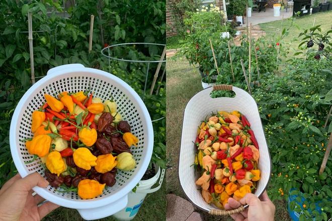 Chàng trai gốc Việt làm vườn 300m2, trồng ớt và hoa hồng ở Mỹ - ảnh 9