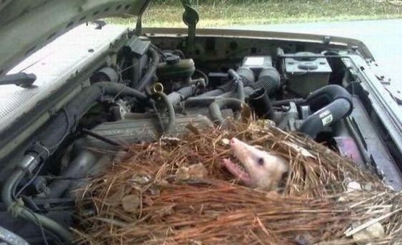 Kiểm tra xe ô tô sau vài tháng bỏ xó, vừa mở nắp capo chàng trai lập tức bỏ chạy khi thấy bên trong có nguyên 1 cái tổ - ảnh 2