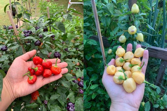 Chàng trai gốc Việt làm vườn 300m2, trồng ớt và hoa hồng ở Mỹ - ảnh 3
