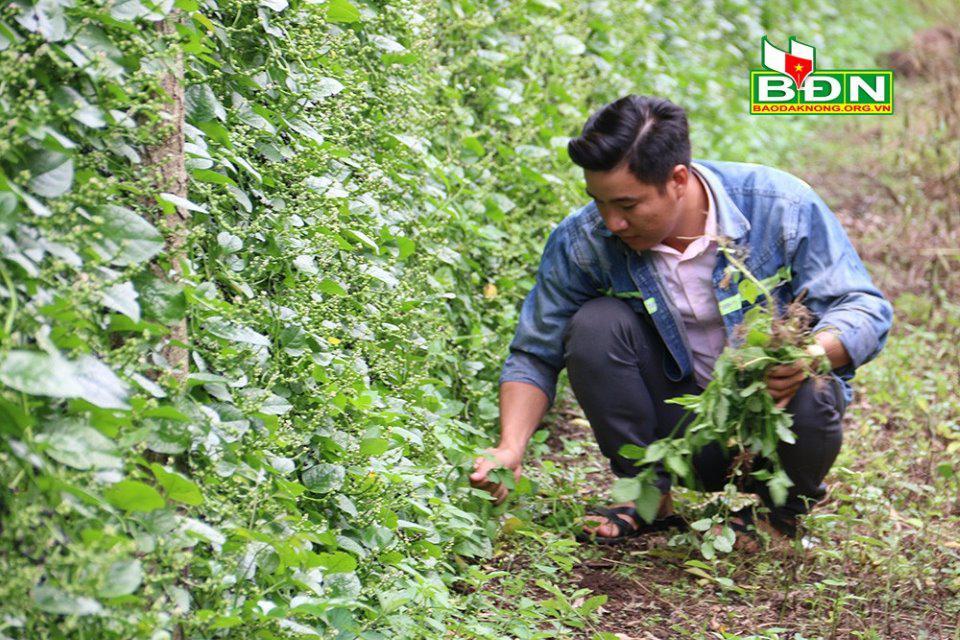 Đắk Nông: Nghỉ việc ở Đồng Nai, trai đẹp về làng trồng mồng tơi tuốt hạt phơi khô bán vô Sài Gòn - ảnh 2