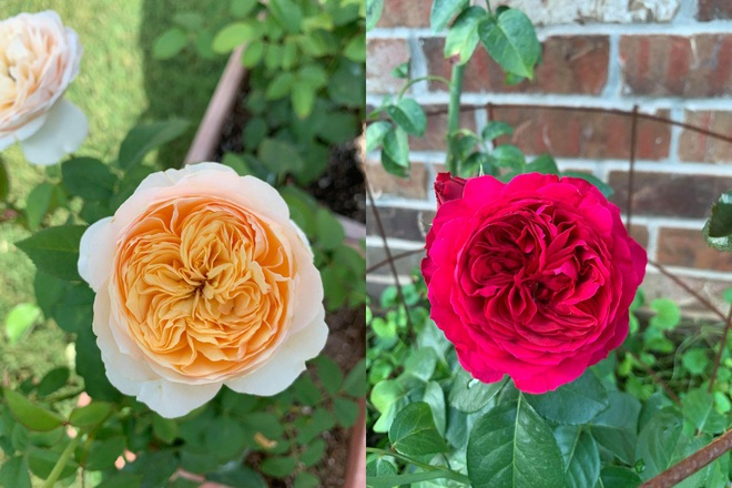 Chàng trai gốc Việt làm vườn 300m2, trồng ớt và hoa hồng ở Mỹ - ảnh 10