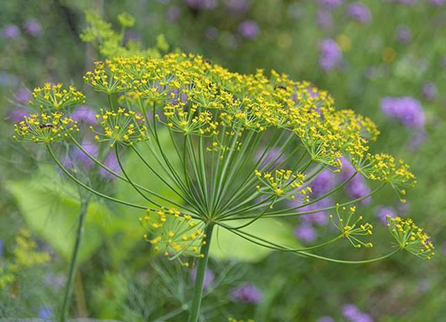 Điểm mặt các loài hoa không chỉ đẹp mà còn ăn được, có lợi cho sức khỏe - ảnh 6
