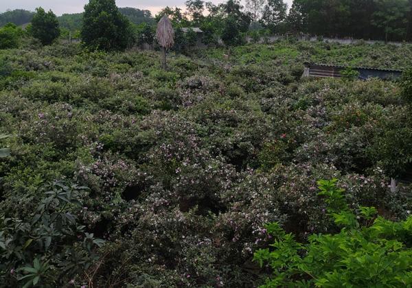 Đem cây dại về trồng để bán, người đàn ông Lạng Sơn thu cả tỷ đồng/năm - ảnh 2