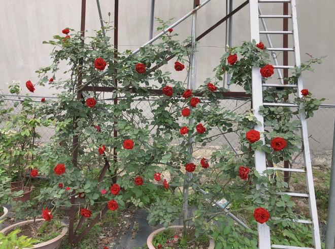 Gia chủ Thanh Hóa làm vườn hồng hơn trăm gốc tặng người thân - ảnh 9