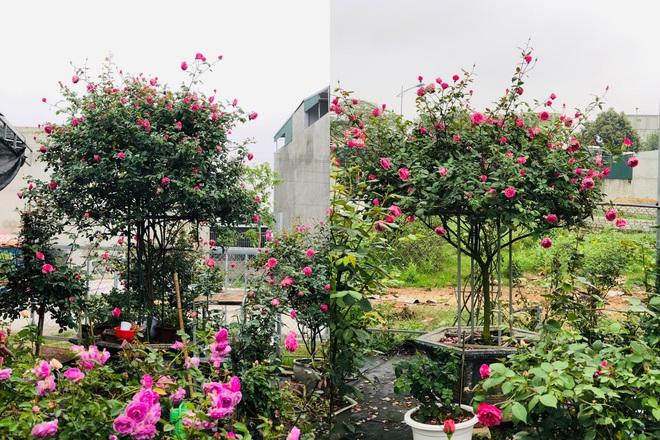 Gia chủ Thanh Hóa làm vườn hồng hơn trăm gốc tặng người thân - ảnh 4
