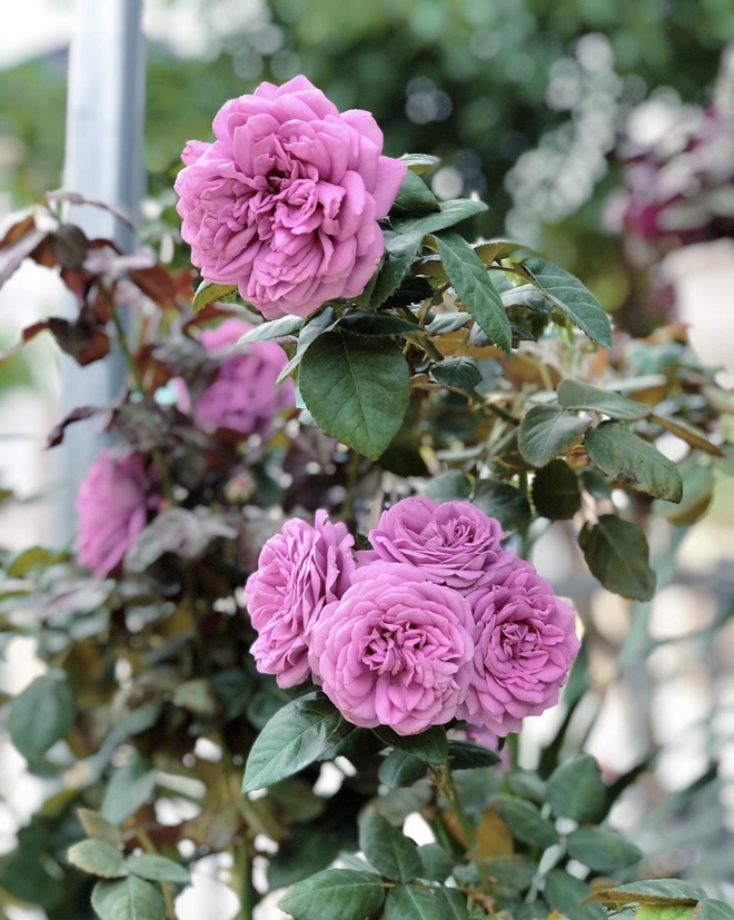 Gia chủ Thanh Hóa làm vườn hồng hơn trăm gốc tặng người thân - ảnh 14