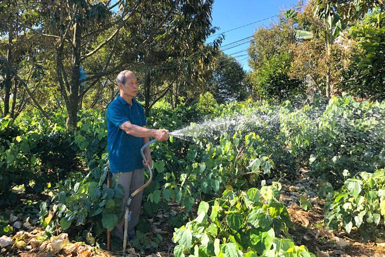 Lâm Đồng: Trồng thứ rau rừng tốt bời bời trong vườn sầu riêng, cứ 1 sao nông dân thu 20 triệu/tháng - ảnh 1