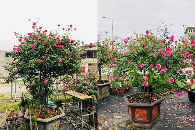 Gia chủ Thanh Hóa làm vườn hồng hơn trăm gốc tặng người thân - ảnh 7