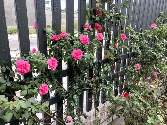 Gia chủ Thanh Hóa làm vườn hồng hơn trăm gốc tặng người thân - ảnh 10