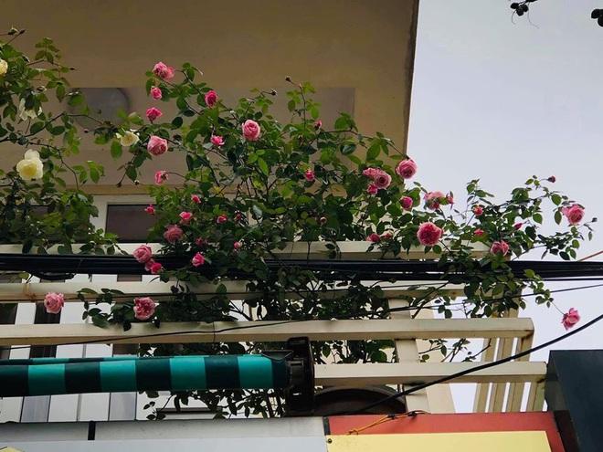 Gia chủ Thanh Hóa làm vườn hồng hơn trăm gốc tặng người thân - ảnh 3