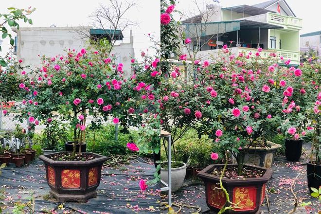 Gia chủ Thanh Hóa làm vườn hồng hơn trăm gốc tặng người thân - ảnh 11