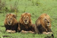 Kịch tính màn đi săn của sư tử đực khiến trâu rừng không kịp trở tay