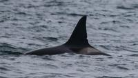 Đàn cá voi sát thủ ở Scotland xuất hiện tại Na Uy sau 3 năm