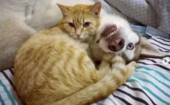Husky ngơ ngác khi cậu chủ phát âm sai chính tả