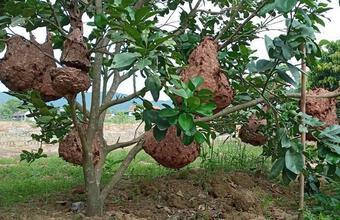 Nuôi ong tử thần kịch độc lấy thịt, thương lái lùng mua tận vườn