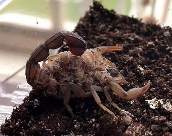 Kỳ lạ bọ cạp nâu chuyển màu xanh tím dưới tia UV