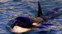 New Zealand khẩn cấp tìm mẹ của cá voi con bị mắc cạn