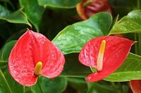 Ý nghĩa và cách chăm sóc cây hồng môn trong phong thủy để tốt cho gia đình