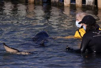 Bé cá voi chết sau nỗ lực tìm mẹ vô vọng, hàng trăm người chăm sóc đau lòng