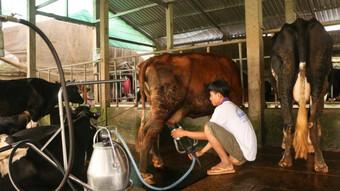Cho không xuể, người nuôi bò sữa ở Sóc Trăng đổ bỏ nửa triệu đồng mỗi ngày