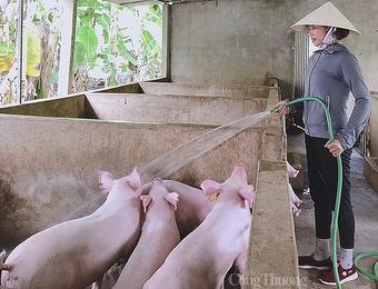 Nghệ An: Giá lợn hơi xuống thấp nhất trong vòng 2 năm