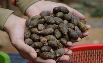 Việt Nam có loại quả biết bay, 4 năm mới có 1 lần, giá hơn nửa triệu/kg