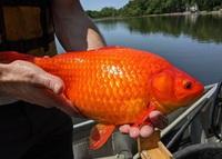 Tìm thấy cá vàng khổng lồ 45cm dưới hồ nước và sự thật đáng buồn phía sau