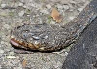 """Hàng triệu con rắn đang đối diện với nguy cơ mù loà do căn bệnh lạ biến rắn thành """"xác ướp"""""""