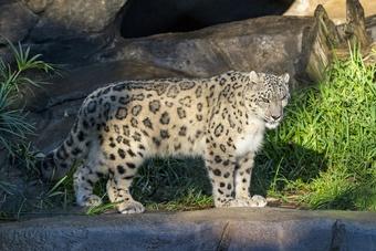 Báo quý hiếm ở vườn thú Mỹ dương tính với Covid-19