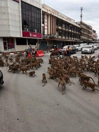 Giãn cách vì Covid-19, khỉ xâm chiếm thành phố, người dân sợ hãi trốn trong nhà, có việc cần lắm mới ra đường