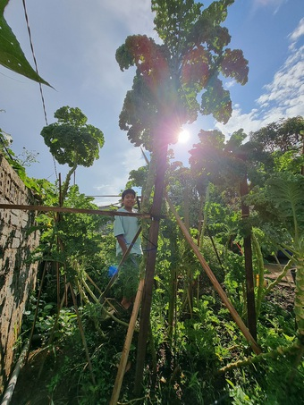 Choáng ngợp với những cây cải kale cao hơn 3m trong vườn của bà nội trợ 8x