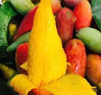 Loại xoài tí hon nhìn xa như quả ớt khổng lồ, hạt bên trong bé như que tăm, ăn rất ngọt và thơm