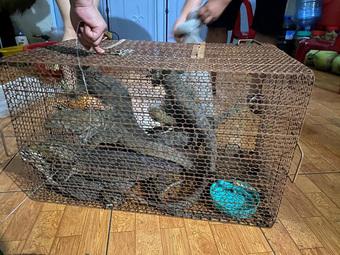 Bị phạt hơn một tỷ đồng vì trong nhà có 8 con kỳ đà