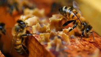 Pháp cảnh báo ''Mật ong Hắc Mã'', kêu gọi người dân tiêu hủy