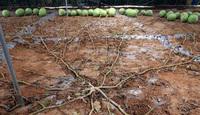 Cây dưa hấu siêu mắn chưa từng thấy trên thế giới: ''Đẻ sòn sòn'' 131 quả/vụ, lá chẳng thấy đâu mà trái sum sê