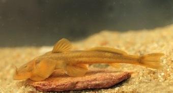 Phát hiện loài cá taxon độc nhất ở Khu bảo tồn thiên nhiên Pù Hoạt