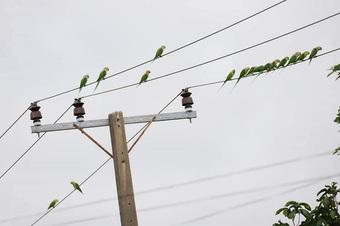 Kỳ lạ đàn chim vẹt đắt tiền ở đâu xuất hiện đậu khắp nơi trong thành phố, chen nhau trên cây dừa lẫn cột điện, dân mạng mạnh dạn đoán một lý do