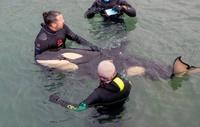 Phát hiện cặp cá voi sát thủ trắng quý hiếm ngoài khơi bờ biển Nhật Bản