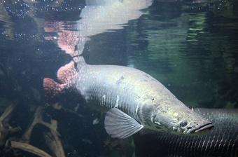 Trăn Anacoda và những thủy quái chết người trên sông Amazon